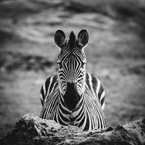 black-and-white grayscale photo of zebra zebra