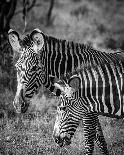 black-and-white grayscale photo of zebras zebra
