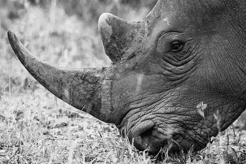 black-and-white grayscale photography of rhinoceros eating grass rhino
