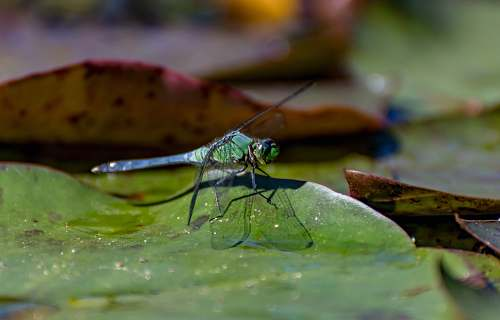 photo insect green dragonfly invertebrate free for commercial use images