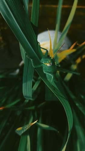 invertebrate green grasshopper cricket insect