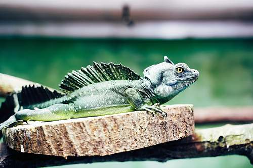 lizard green iguana on wooden surface iguana