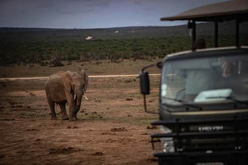 mammal grey elephant beside black vehicle during daytime elephant