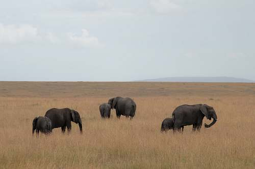 elephant group of elephants on brown grass fie;d wildlife