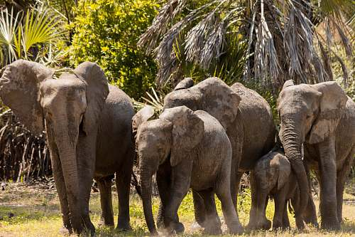 mammal herd of elephants near trees during daytime elephant
