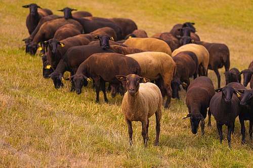 mammal herd of goat sheep
