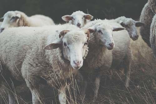 sheep herd of sheep on grass mammal