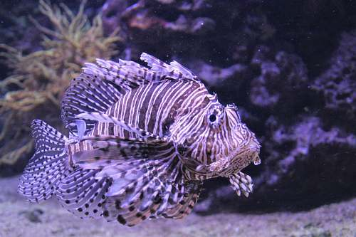 nature lion fish water