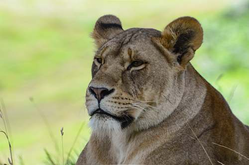 mammal lioness lying on green grass field lion