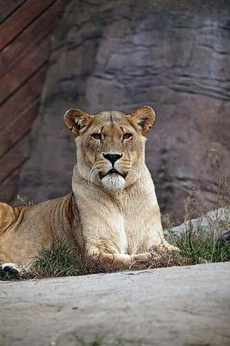 mammal lioness on pavement lion