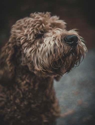 dog long-coated tan dog mammal