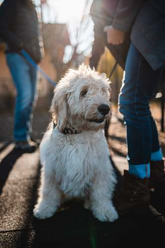 person long-coated white dog on ground beside people wearing denim jeans dog