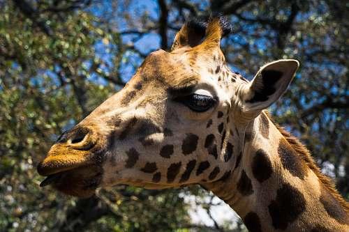 mammal macro photography of giraffe giraffe