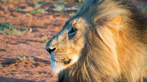 mammal macro photography of male lion lion
