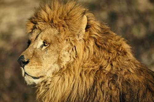 wildlife male lion lion
