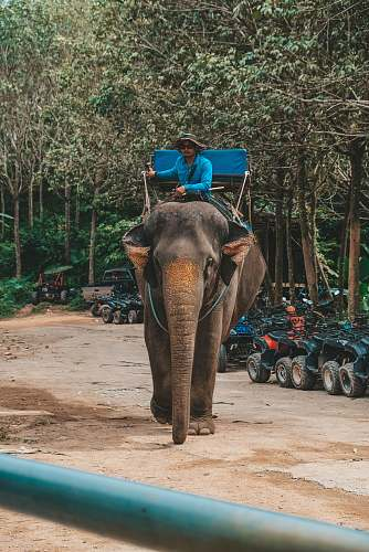 mammal man riding elephant during daytime elephant