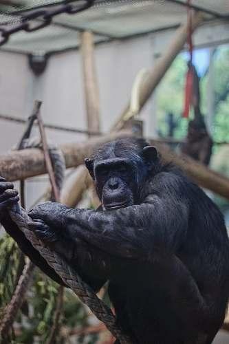 mammal monkey in playset ape