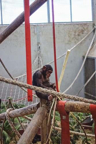 ape monkey on playset mammal