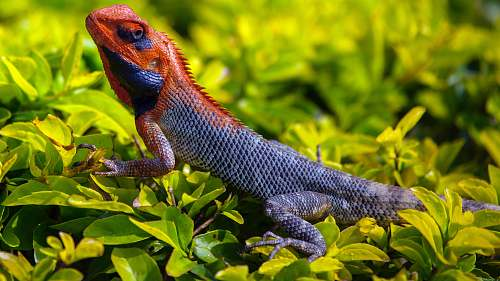 reptile orange and gray Iguana standing on plant lizard