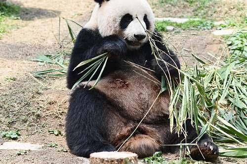 bear panda eating grass during daytime giant panda