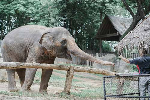 mammal person reaching for elephant's trunk elephant