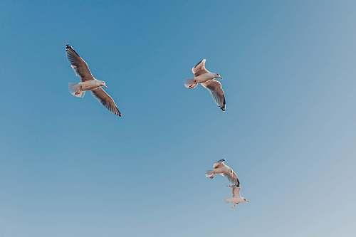 flying photo of four Seagull birds midair bird