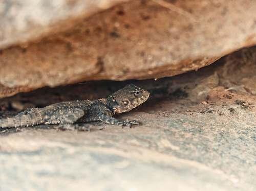 lizard photo of gray lizard reptile