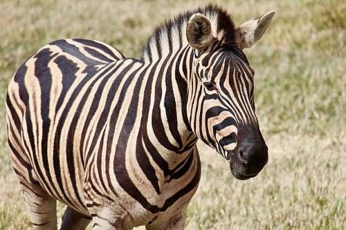 mammal photo of zebra zebra