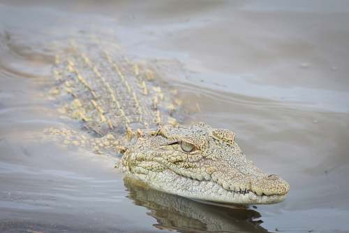 reptile photography of brown and gray crocodile floating on body of water crocodile