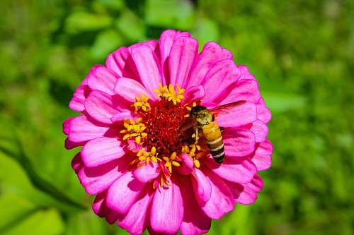 bee pink petaled flowers and a bee honey bee
