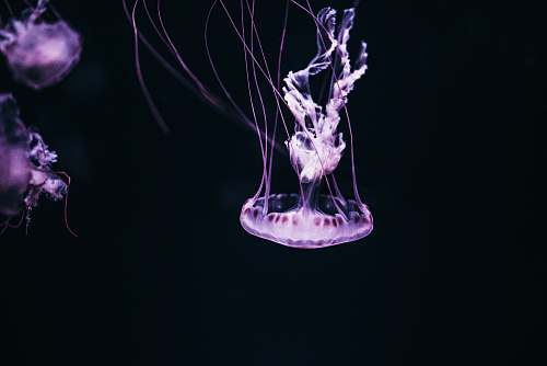 jellyfish purple jelly fish with black background sea life