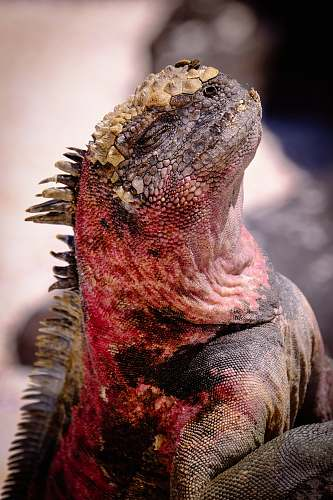 iguana red and black lizard lizard