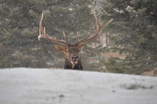 mammal reindeer during daytime deer