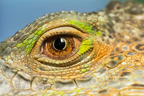 lizard reptile eye iguana