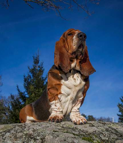 mammal Saint Bernard dog wildlife