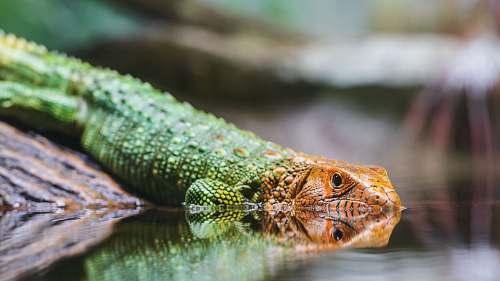 lizard selective-focus of green and orange lizard reptile