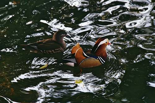 photo bird selective focus photography of male and female mandarin ducks on body of water duck free for commercial use images