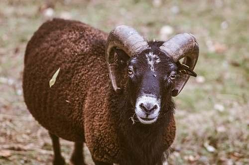 mammal selective focus photography of ram sheep