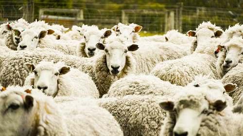 mammal shallow focus photo of herd of sheep sheep