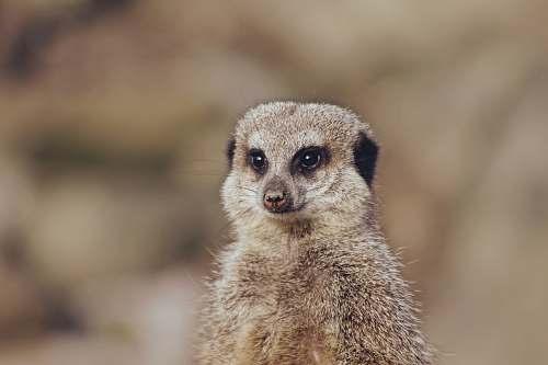 mammal shallow focus photo of meerkat meerkat