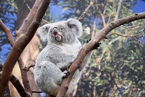 mammal shallow focus photography of koala on tree koala