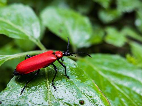 insect shallow focus photography of red leaf beetle invertebrate