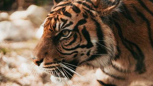 tiger shallow focus photography of tiger wildlife