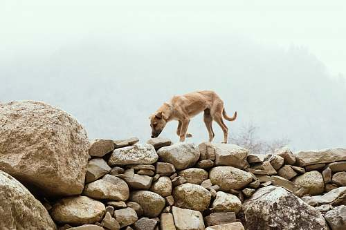 rubble short-coated brown dog on stones lion