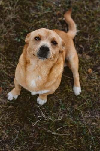dog short-coated brown dog sitting on grass pet