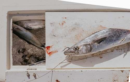 fish sliced gray fish with fishing hook on white ice box sea life