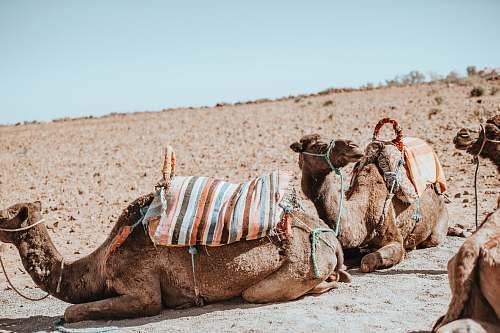 mammal three brown camel on desert field during daytime camel