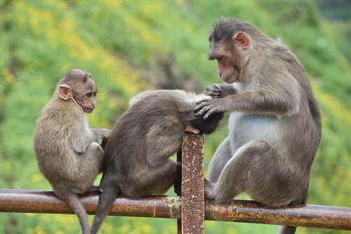 photo mammal three brown monkeys sitting on a bar monkey free for commercial use images