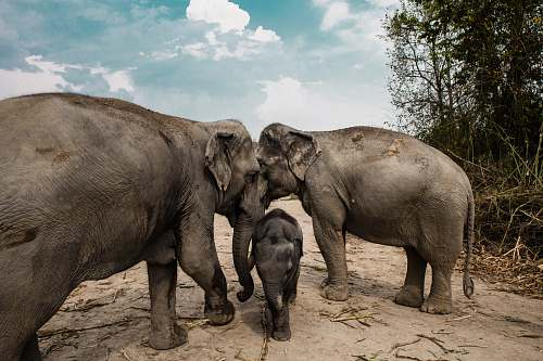 mammal three gray elephants elephant