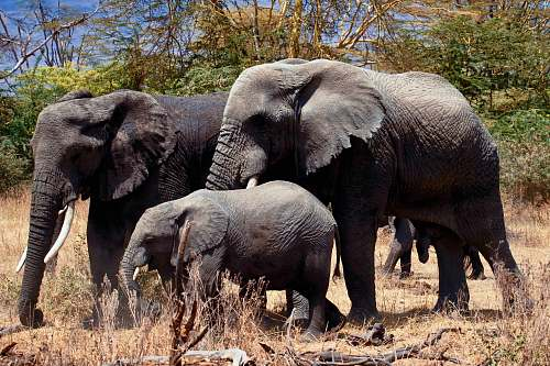 wildlife three gray elephants on ground during daytime elephant